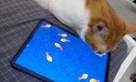抖音上猫玩的捕鱼游戏《逗猫玩具》怎么玩?